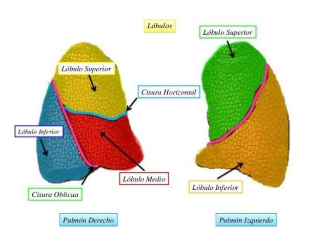 Anatomia lobar