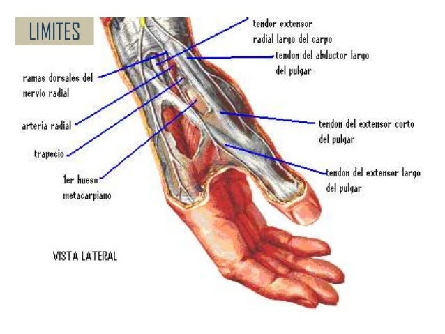 Anatomia de la Mano y Muñeca