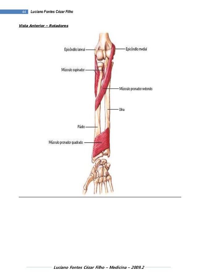 Dorable Epicóndilo Anatomía Definición Embellecimiento - Imágenes de ...