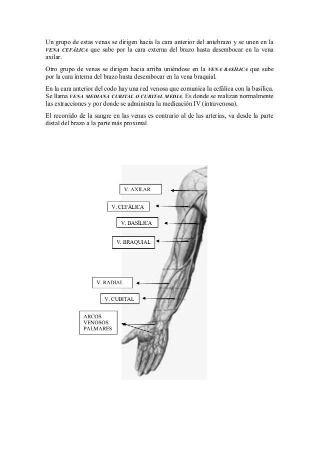 Magnífico Vena Del Brazo Anatomía Colección - Imágenes de Anatomía ...
