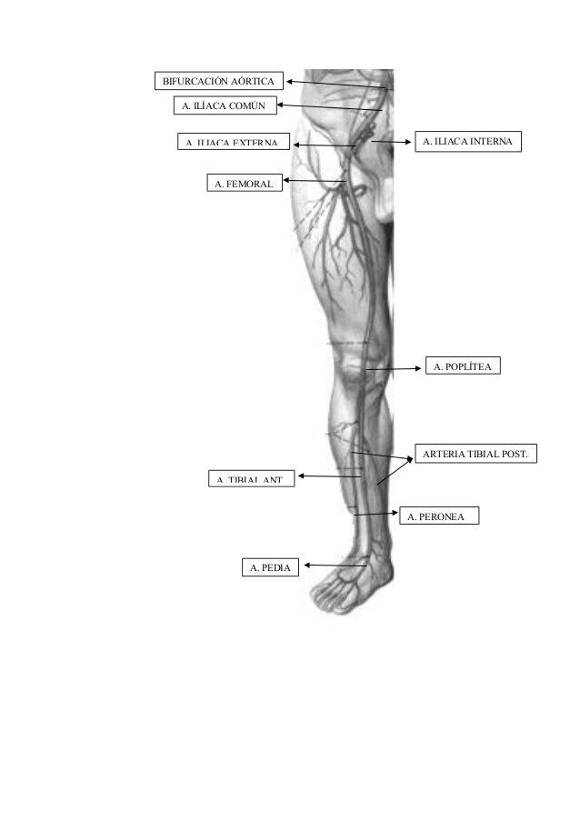 Anatomia miembros ssii