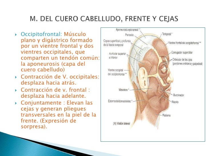Anatomia musculos de la cabeza y cuero cabelludo