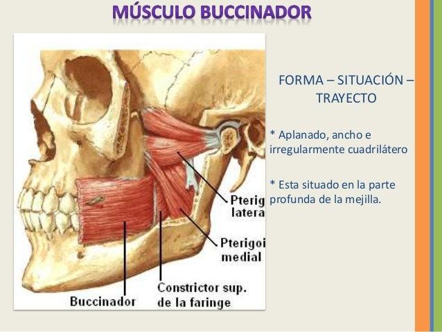 Anatomia musculos faciales