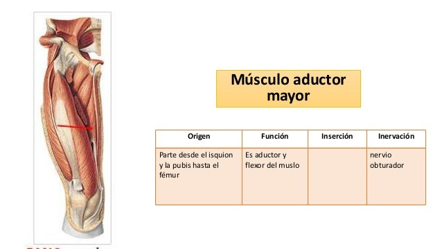 Anatomia muslo