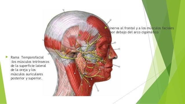 Anatomia nervio facial 2