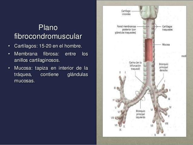 Anatomia de vías aereas inferiores