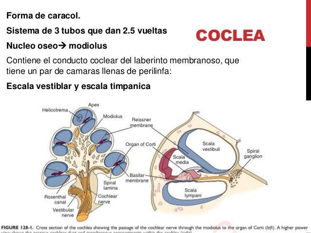 Anatomia oido, Clase de Otorrinolaringología