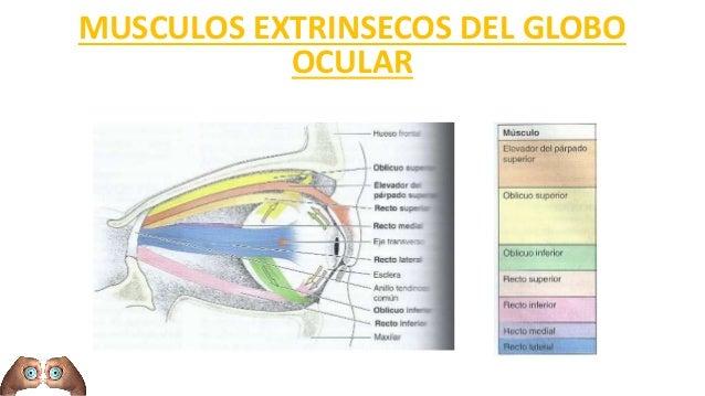 Anatomia Clinico Quirurgica del ojo