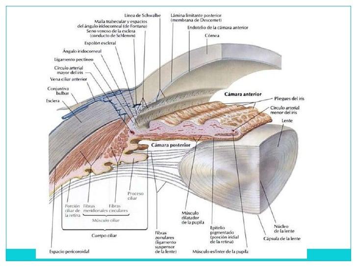 Fantástico Anatomía De La Lente Del Ojo Colección - Anatomía de Las ...