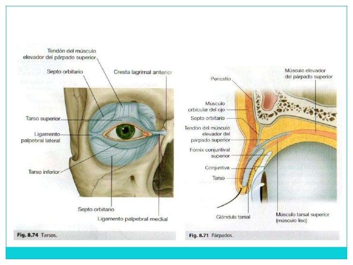 Anatomia Ojo, Cavidad Orbitaria y Anexos
