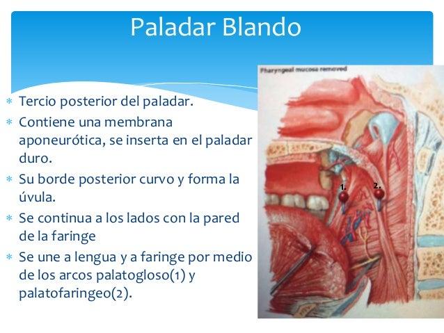 Anatomia de la orofaringe