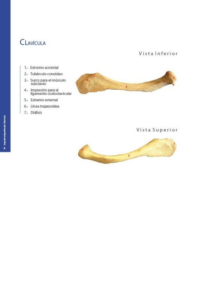 Atractivo Anatomía Línea Subclavia Regalo - Imágenes de Anatomía ...