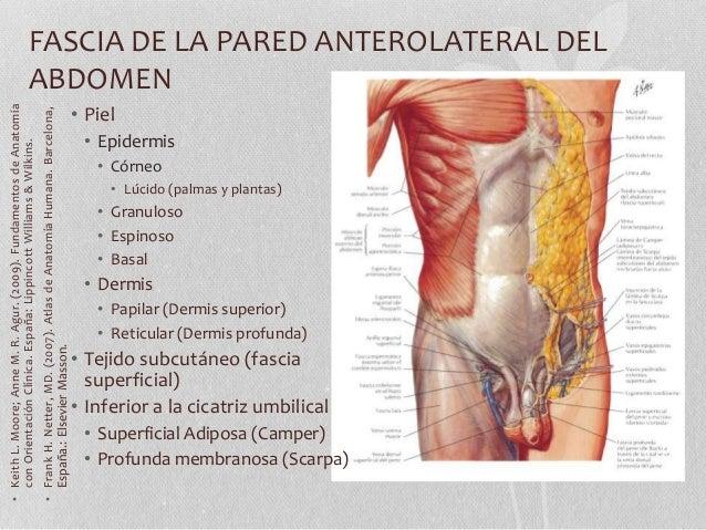 Anatomía pared abdominal 2