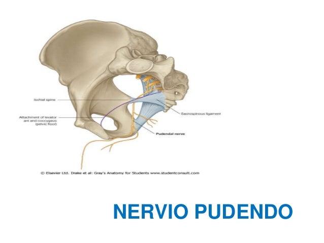 Anatomia pelvis - Dr.Iñigo Fernández