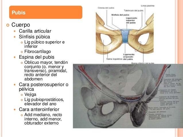 Anatomia de pelvis y cadera