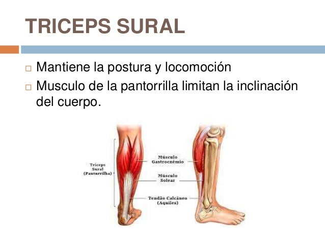 Anatomia pierna