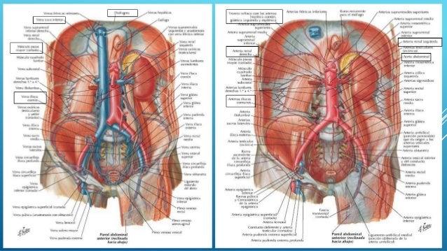 Anatomia por imagen del abdomen