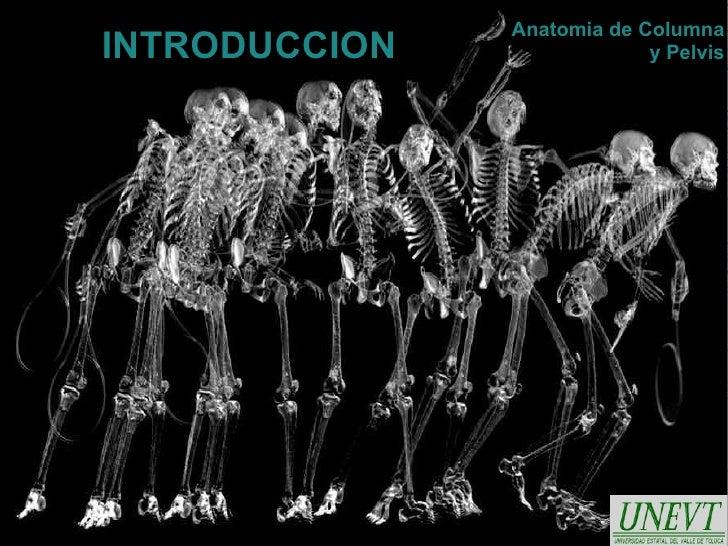 Anatomia de ColumnaINTRODUCCION                y Pelvis