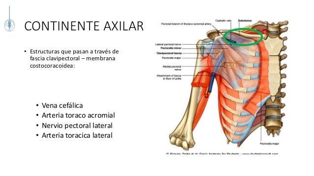 Anatomia quirurgica y topografica de la mama - Continente y contenido ...
