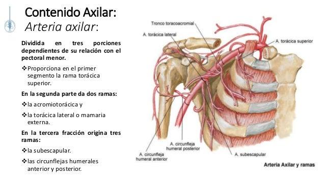 Anatomia quirurgica y topografica de la mama