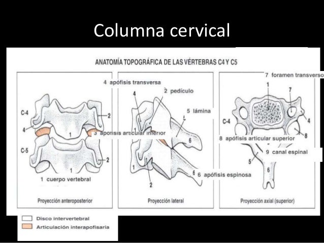 Anatomia radiografica de columna cervical