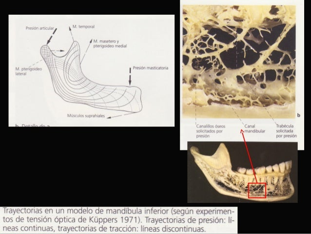 Anatomia radiográfica maxilar y mandíbula uss rx