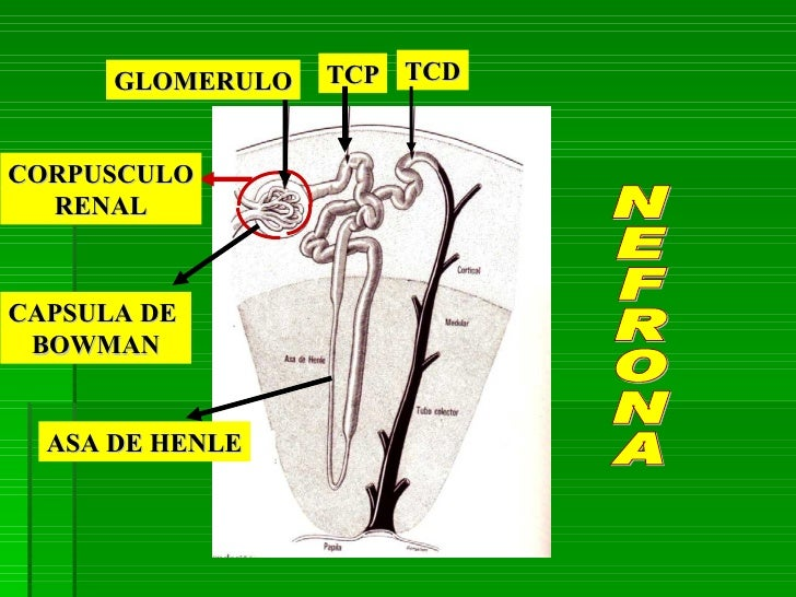 Excepcional Dedo Gordo Anatomía De Uñas Galería - Ideas de Pintar de ...
