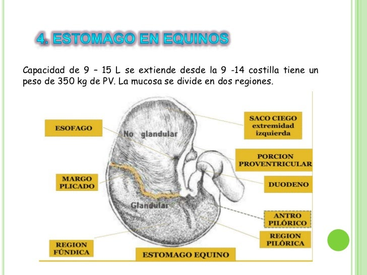 Anatomia sistema digestivo en cerdos