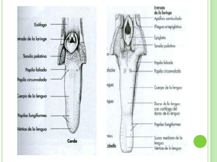2cm largo 6 grueso y 18 de circunferencia 3 - 4 10