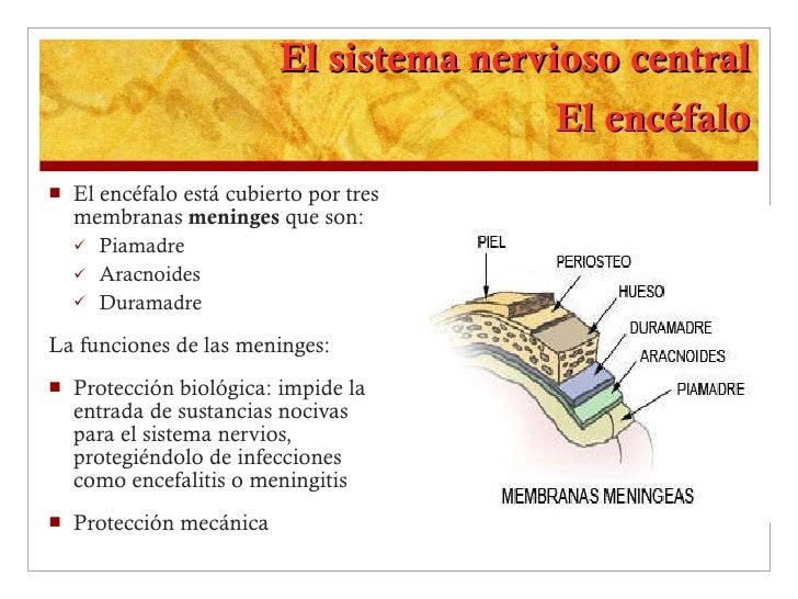 El sistema nervioso central El encéfalo <ul><li>El encéfalo está cubierto por tres membranas  meninges  que son: </li></ul...