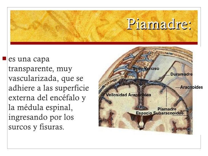 Piamadre:  <ul><li>es una capa transparente, muy vascularizada, que se adhiere a las superficie externa del encéfalo y la ...