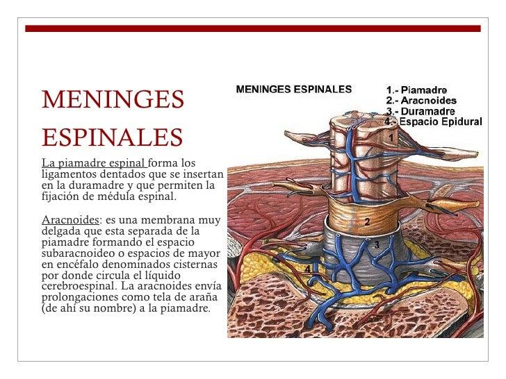 MENINGES ESPINALES <ul><li>La piamadre espinal  forma los ligamentos dentados que se insertan en la duramadre y que permit...