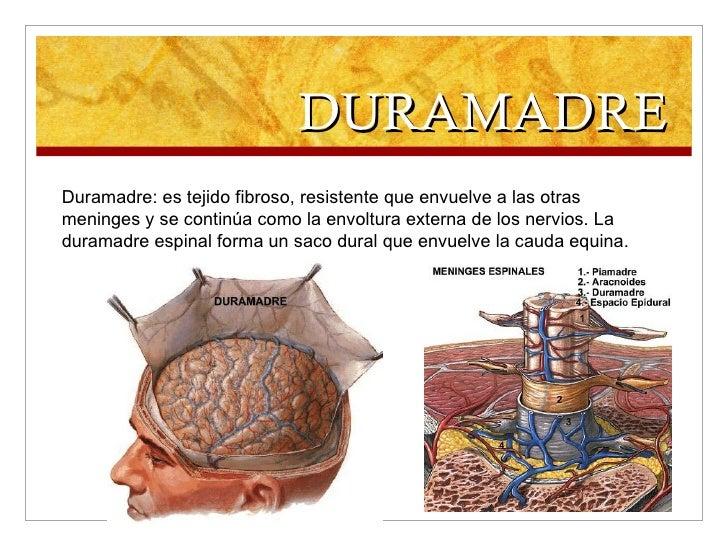DURAMADRE Duramadre: es tejido fibroso, resistente que envuelve a las otras meninges y se continúa como la envoltura exter...