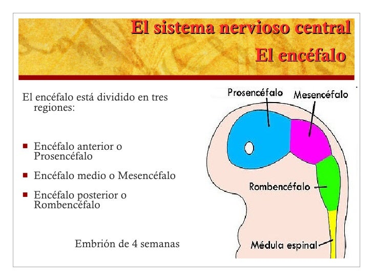 El sistema nervioso central El encéfalo  <ul><li>El encéfalo está dividido en tres regiones: </li></ul><ul><li>Encéfalo an...