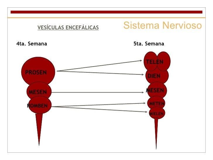 Sistema Nervioso VESÍCULAS ENCEFÁLICAS 4ta. Semana 5ta. Semana PROSEN TELEN DIEN MESEN MESEN ROMBEN METEN MIELEN