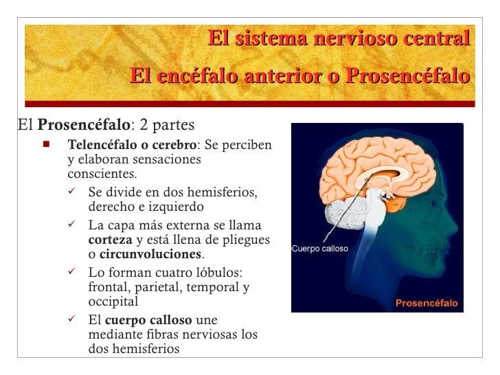 El sistema nervioso central El encéfalo anterior o Prosencéfalo <ul><li>El  Prosencéfalo : 2 partes </li></ul><ul><ul><li>...