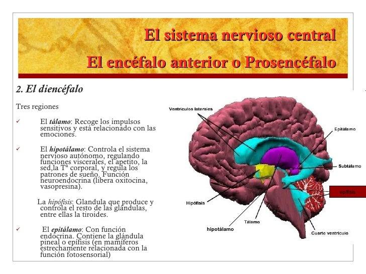 El sistema nervioso central El encéfalo anterior o Prosencéfalo <ul><li>2.   El diencéfalo </li></ul><ul><li>Tres regiones...