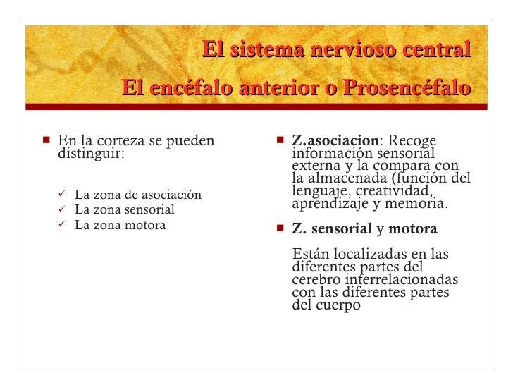 El sistema nervioso central El encéfalo anterior o Prosencéfalo <ul><li>En la corteza se pueden distinguir: </li></ul><ul>...