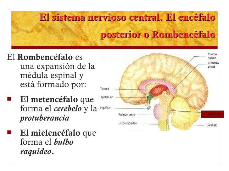 El sistema nervioso central. El encéfalo posterior o Rombencéfalo <ul><li>El  Rombencéfalo  es una expansión de la médula ...