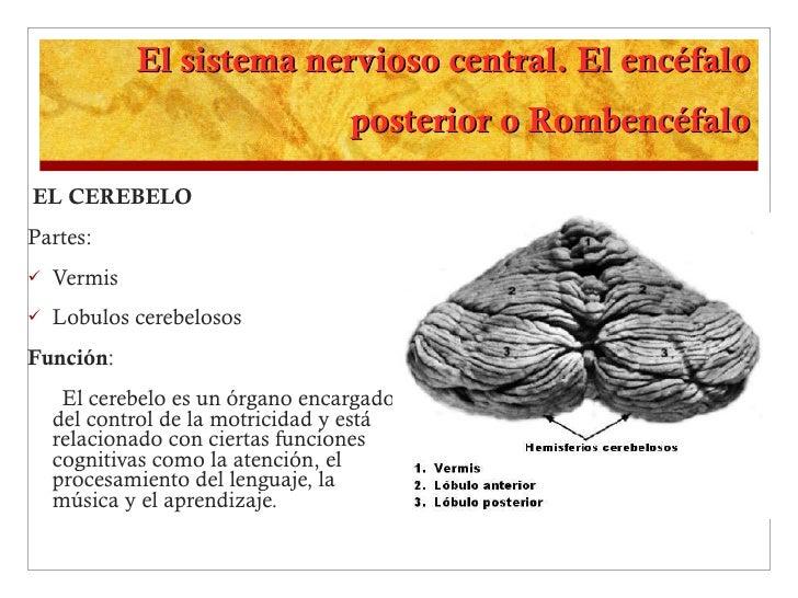 El sistema nervioso central. El encéfalo posterior o Rombencéfalo <ul><li>EL CEREBELO  </li></ul><ul><li>Partes: </li></ul...