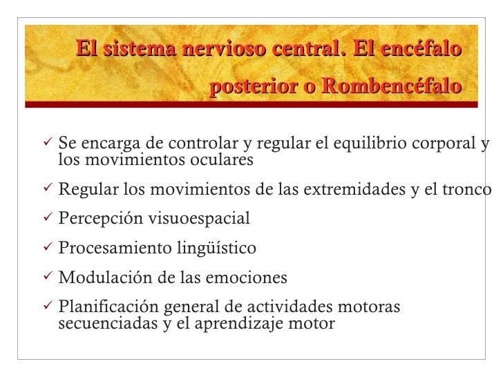 El sistema nervioso central. El encéfalo posterior o Rombencéfalo <ul><li>Se encarga de controlar y regular el equilibrio ...