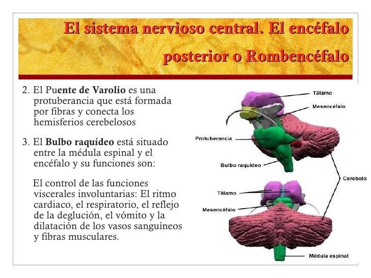 El sistema nervioso central. El encéfalo posterior o Rombencéfalo <ul><li>2. El Pu ente de Varolio  es una protuberancia q...