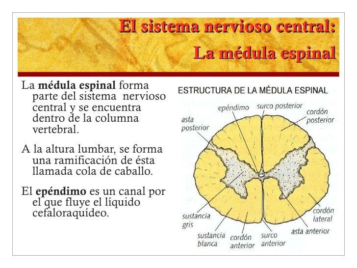 El sistema nervioso central: La médula espinal <ul><li>La  médula espinal  forma parte del sistema  nervioso central y se ...