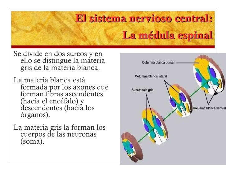 El sistema nervioso central: La médula espinal <ul><li>Se divide en dos surcos y en ello se distingue la materia gris de l...