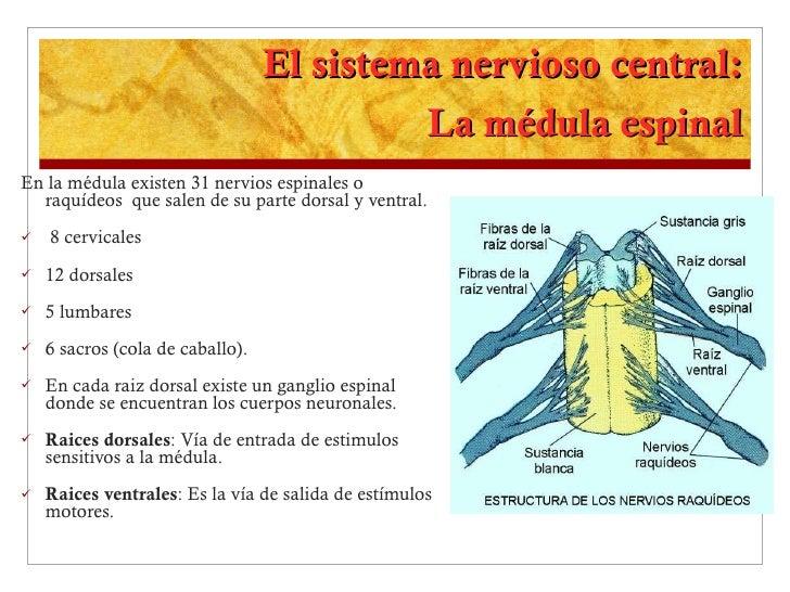 El sistema nervioso central: La médula espinal <ul><li>En la médula existen 31 nervios espinales o raquídeos  que salen de...