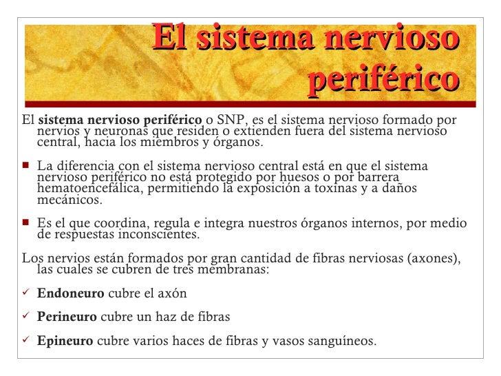 El sistema nervioso periférico <ul><li>El  sistema nervioso periférico  o SNP, es el sistema nervioso formado por nervios ...