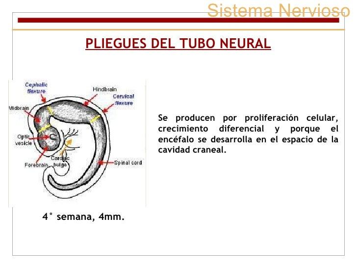 Sistema Nervioso PLIEGUES DEL TUBO NEURAL Se producen por proliferación celular, crecimiento diferencial y porque el encéf...