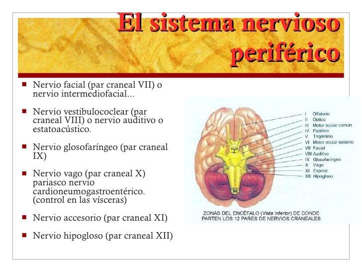 El sistema nervioso periférico <ul><li>Nervio facial (par craneal VII) o nervio intermediofacial...  </li></ul><ul><li>Ner...
