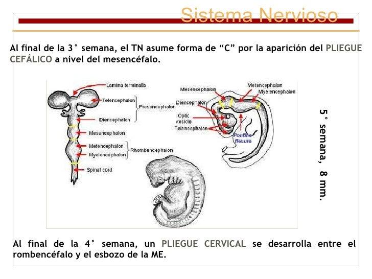 """Sistema Nervioso Al final de la 3° semana, el TN asume forma de """"C"""" por la aparición del  PLIEGUE CEFÁLICO  a nivel del me..."""
