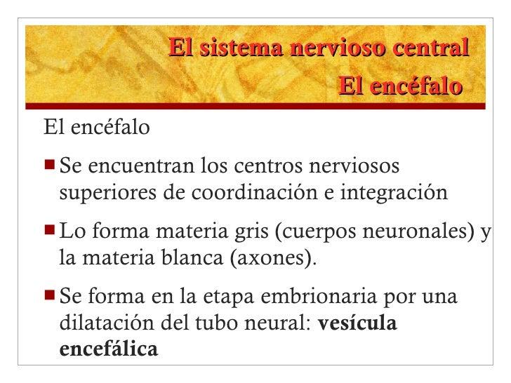 El sistema nervioso central El encéfalo  <ul><li>El encéfalo </li></ul><ul><li>Se encuentran los centros nerviosos superio...